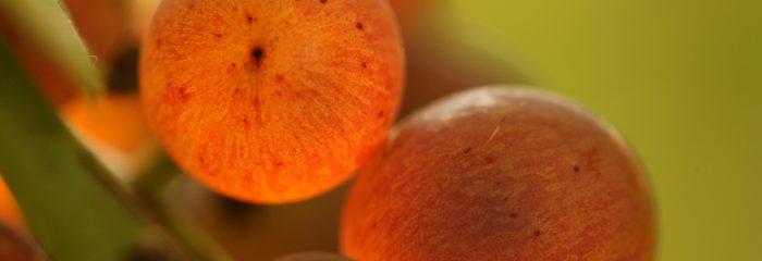 Grozdje oranžno